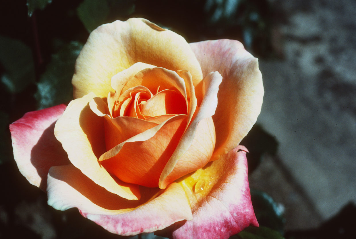 Roses: When to plant and prune