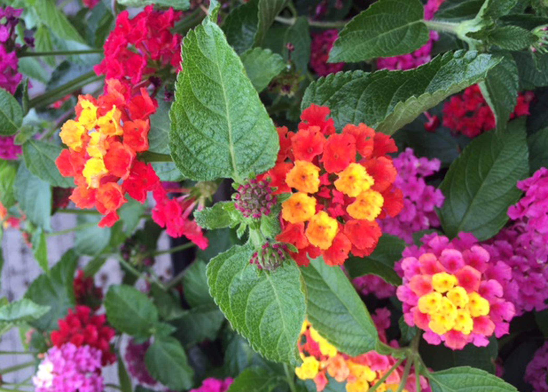 Interest heats up in tender perennials