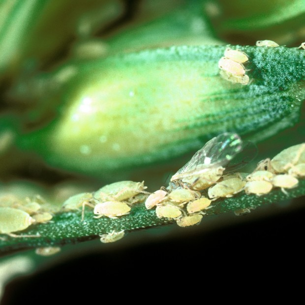 Use natural enemies to fight bugs in the garden