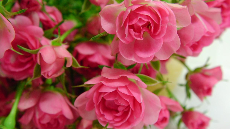 Miniature roses deserve major attention