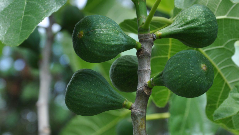 Figs grow fine in Western Oregon