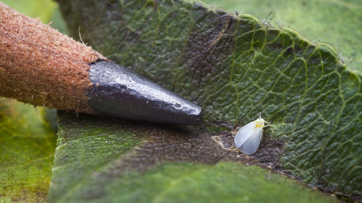 Natural enemies attack invasive ash whitefly