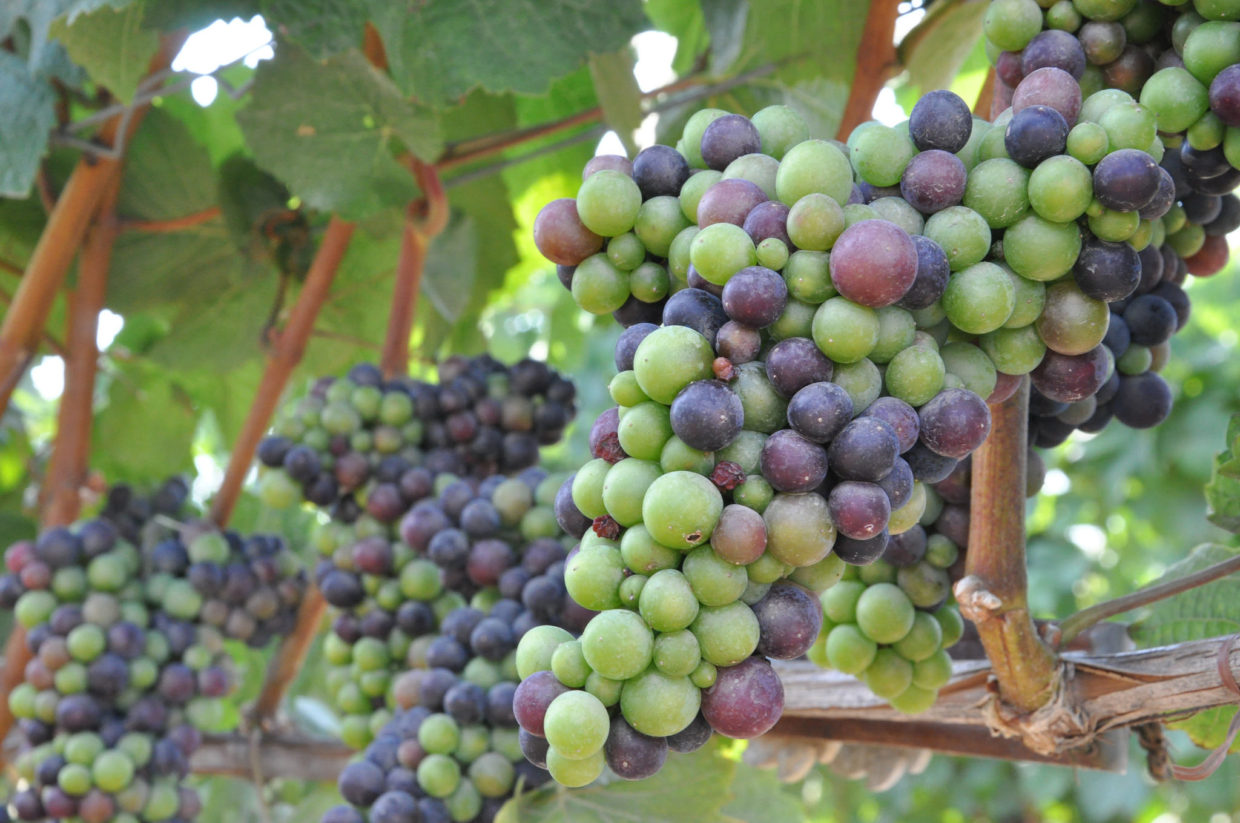 Don't be timid when pruning grapes