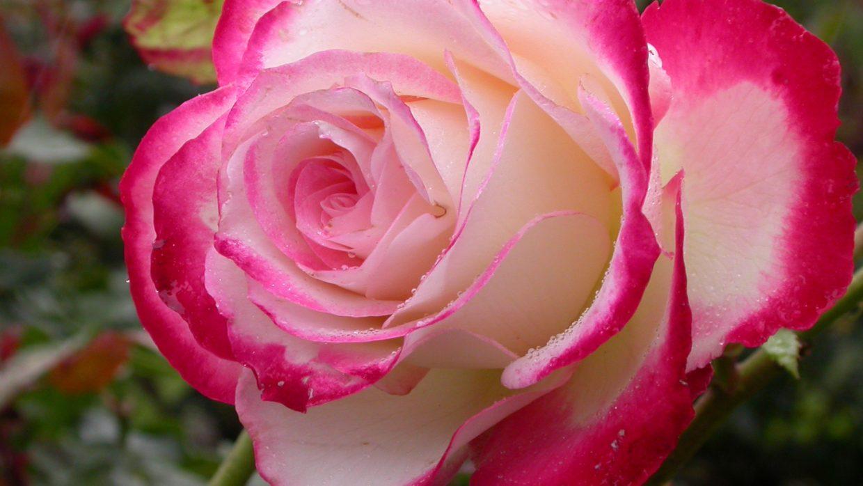 Disease-resistant roses make gardening life easier
