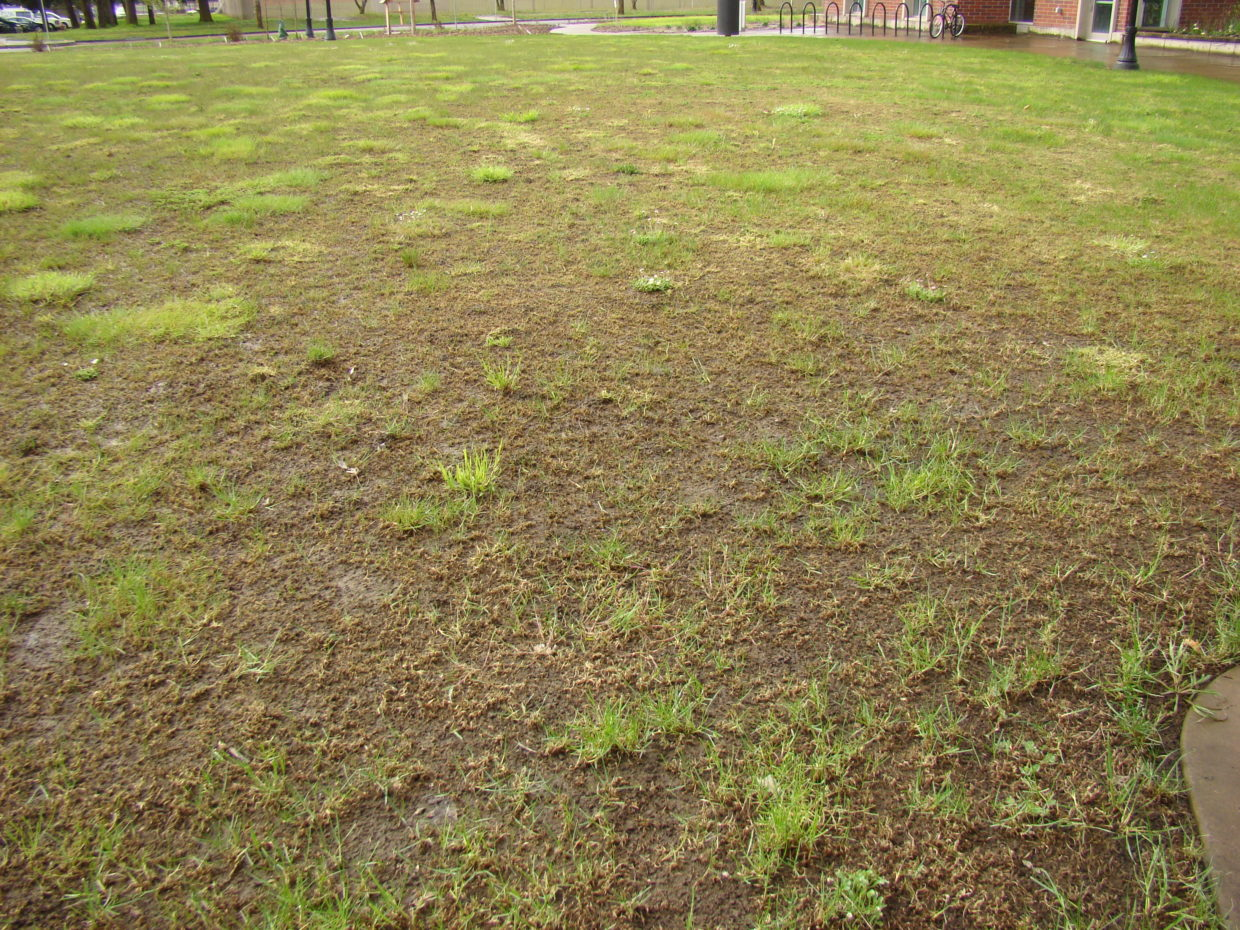 Wet weather invited crane flies to invade lawns