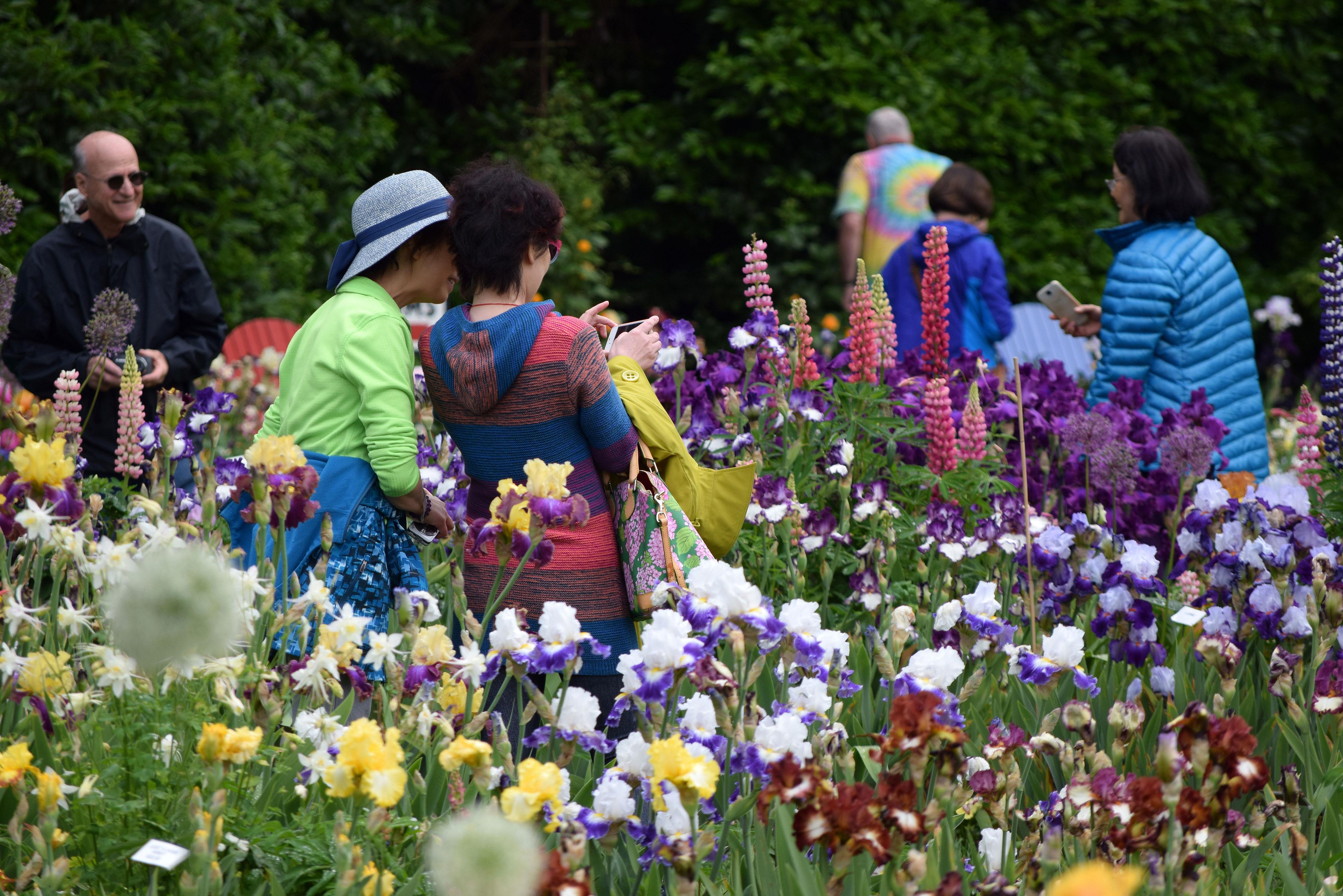 Annual Celebration of Irises at Schreiner's Iris Gardens