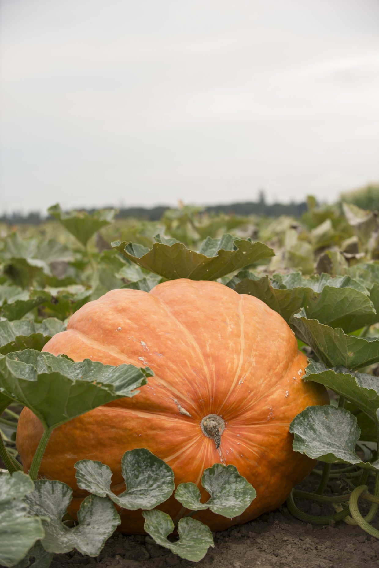 Pump up your pumpkins to giant size