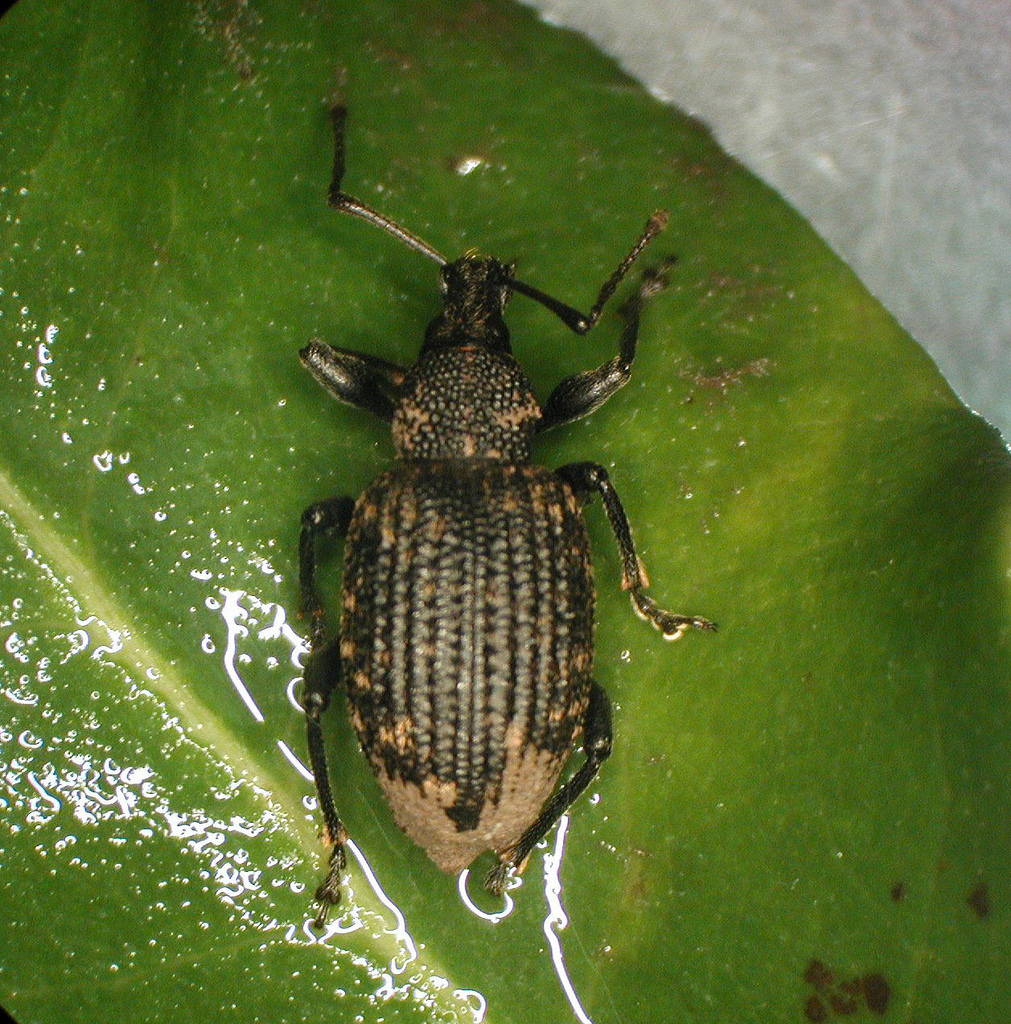 Control sneaky root weevils with beneficial nematodes