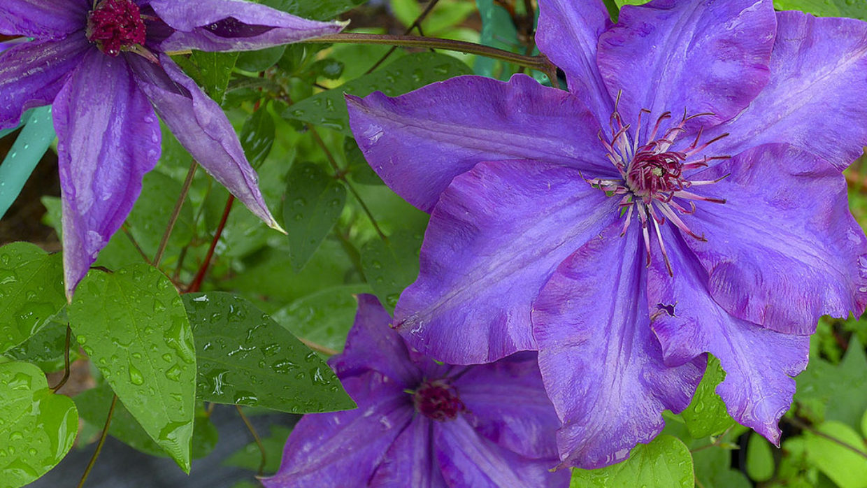 Clematis climb into a special place in the garden