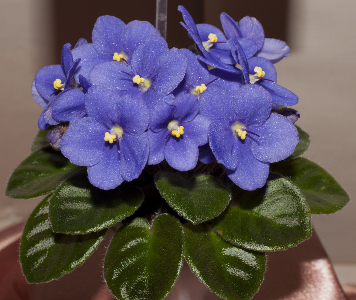 Give charming winter-blooming plants as holiday gifts