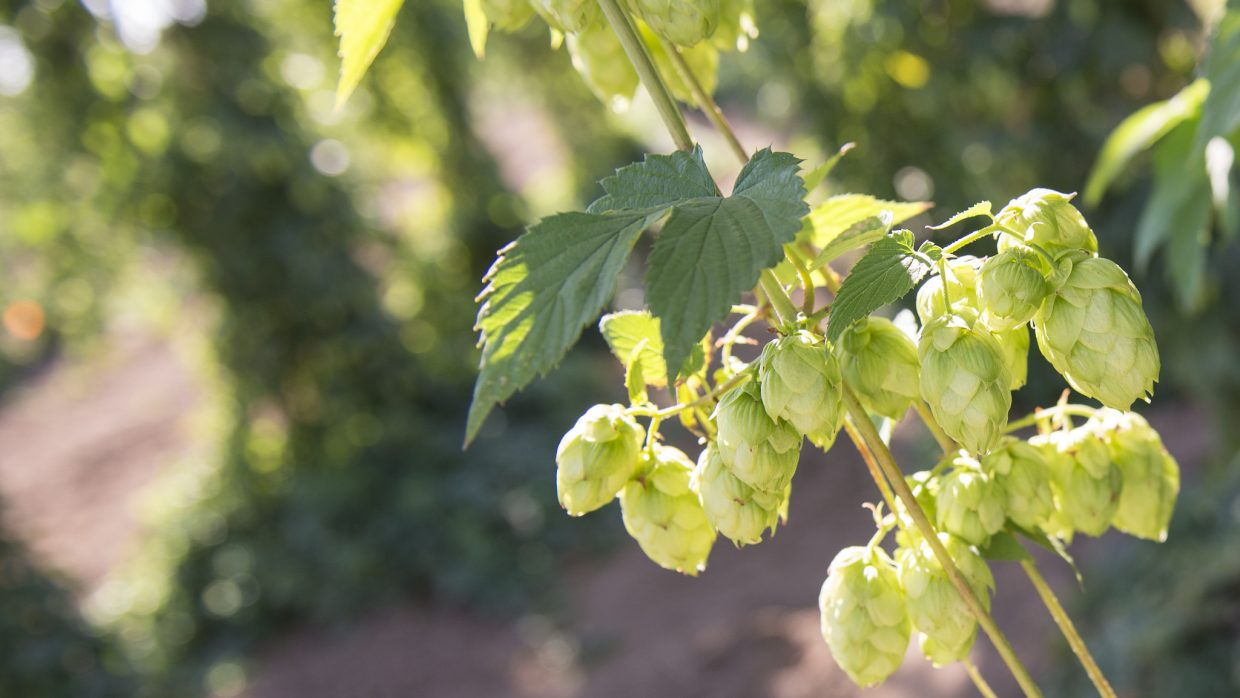 Brewing beer? Go a step further and grow your own hops