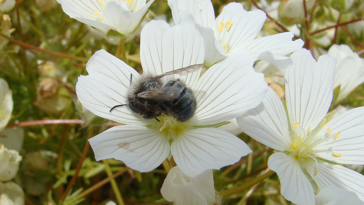 Mason bees go to work early in the season before honey bees emerge