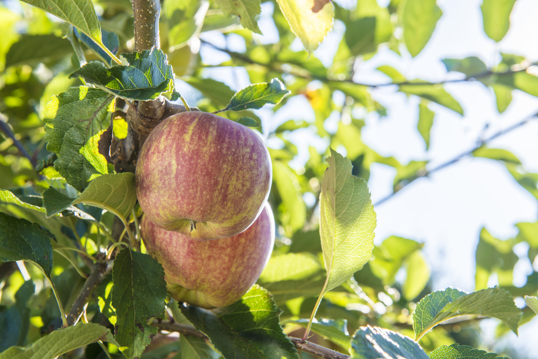 Get a leg up on fruit tree problems with dormant oils