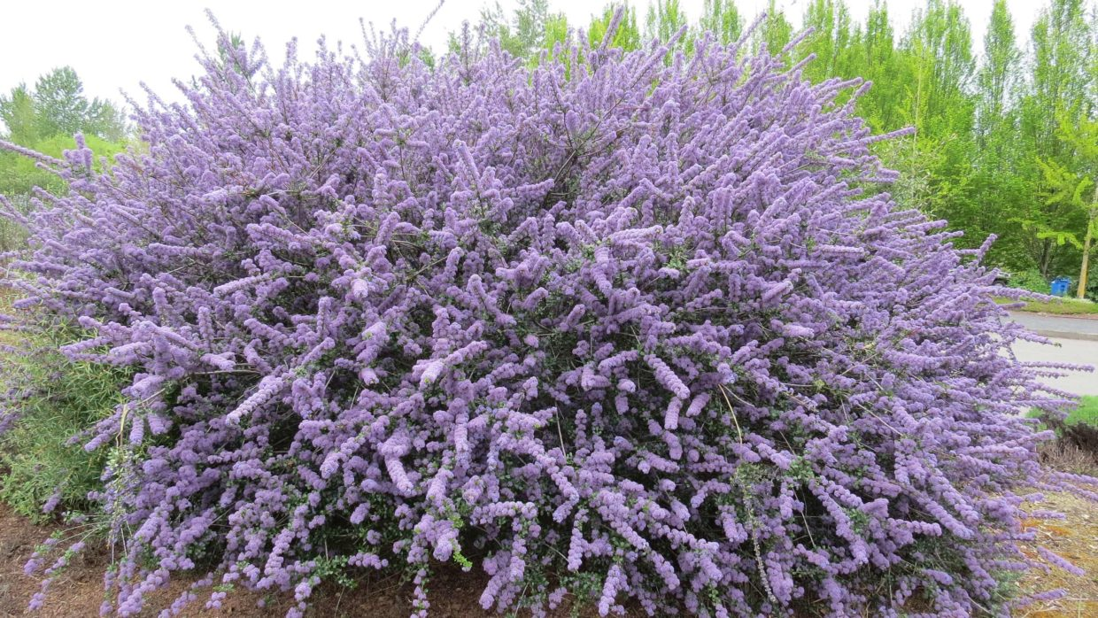 Drought-tolerant Ceanothus makes a beautiful addition to the garden
