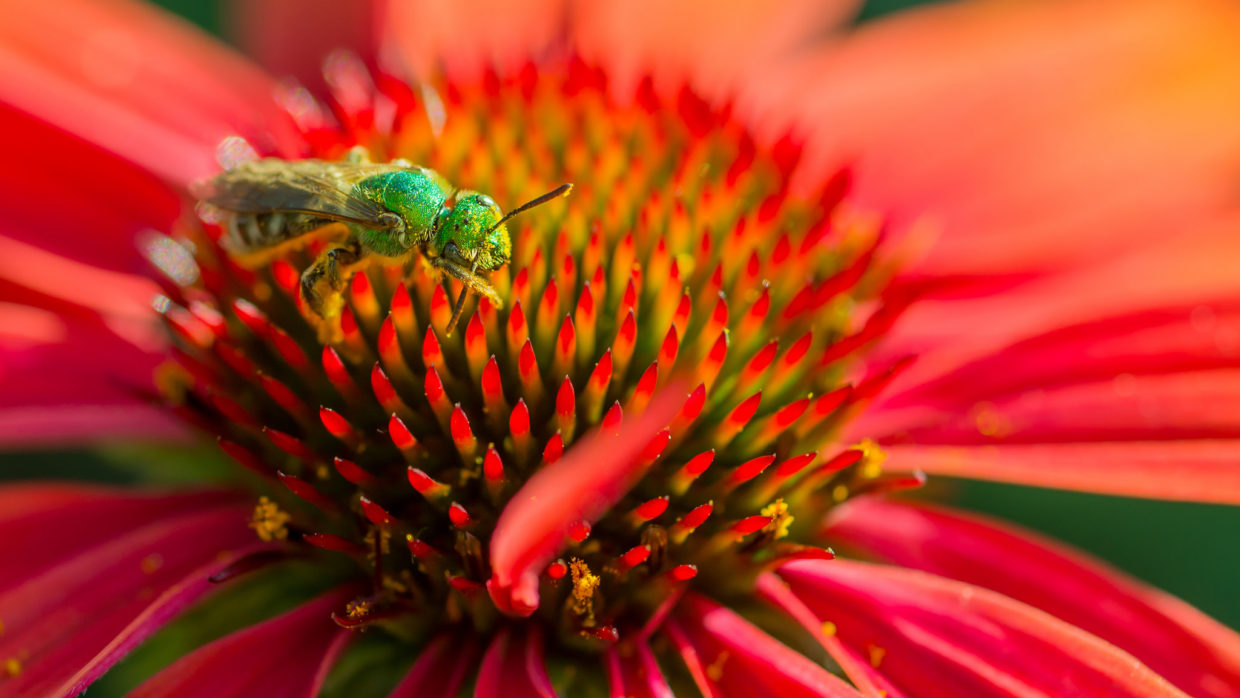 25 plants for attracting native bees to the garden