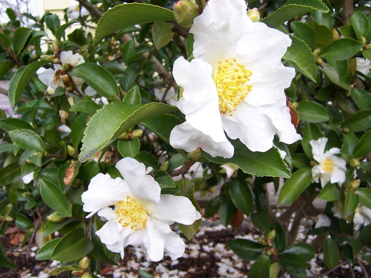 Six stellar shrubs to brighten the winter garden