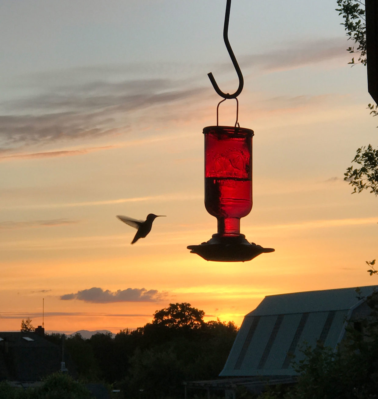 Offer nectar to tempt hummingbirds to the garden