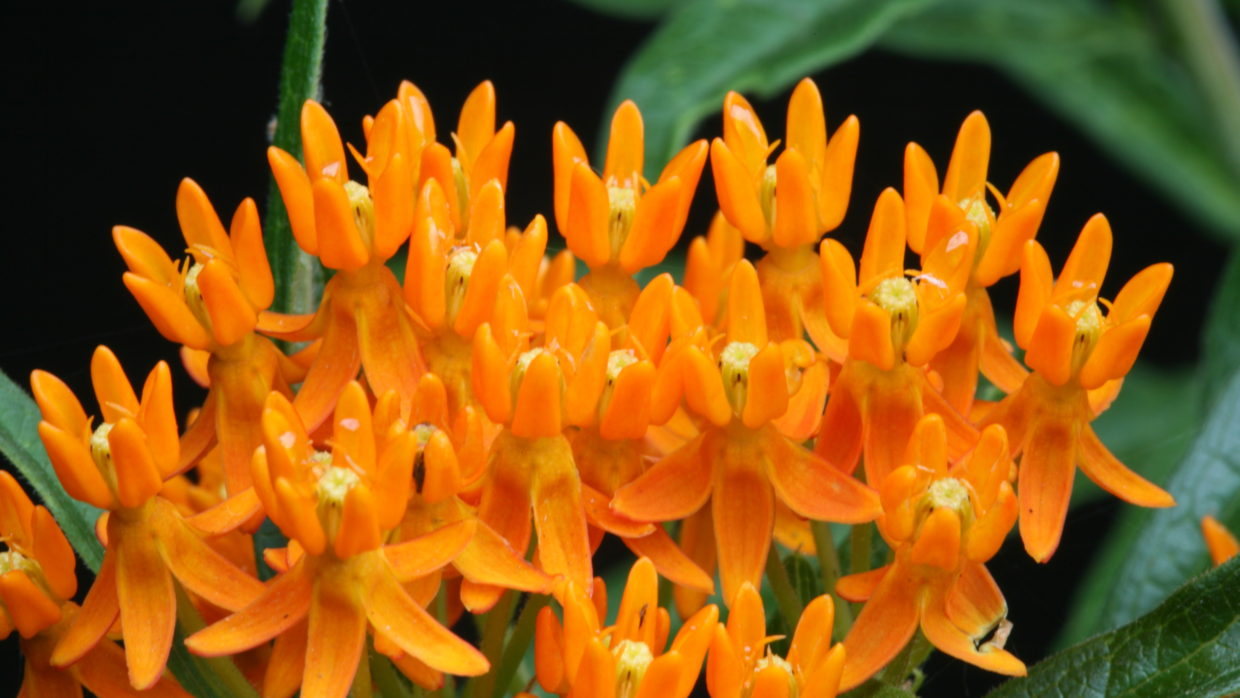 Attracting monarch butterflies with milkweed plants
