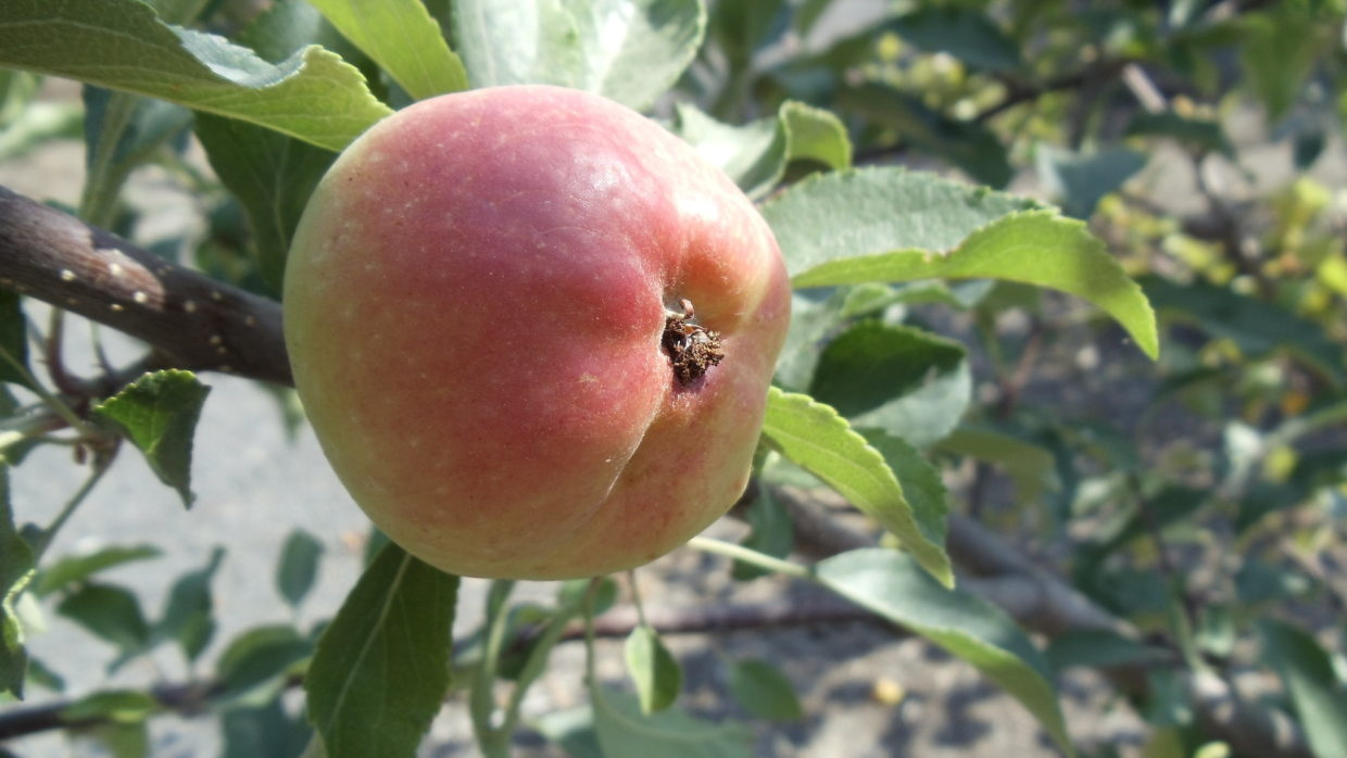 7 tips for controlling frustrating apple scab