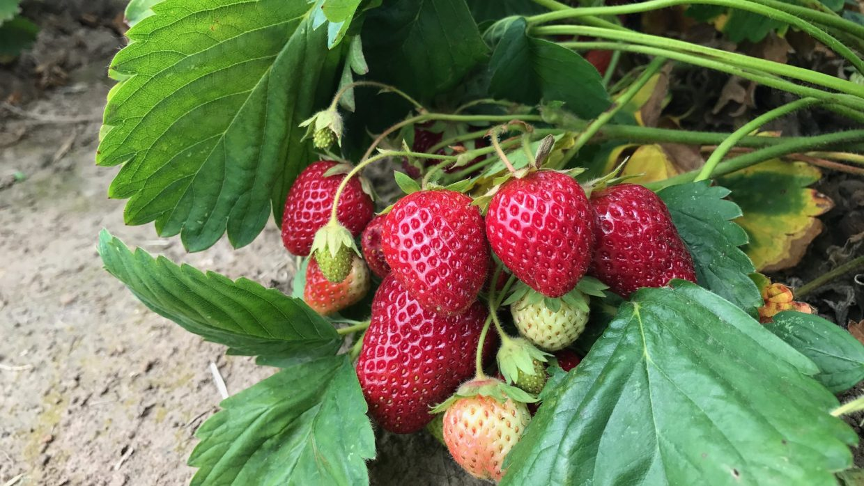 Sweeten up summer by growing strawberries