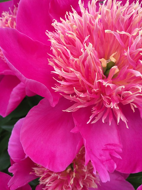 The powerful beauty of peonies makes them a favorite in the garden