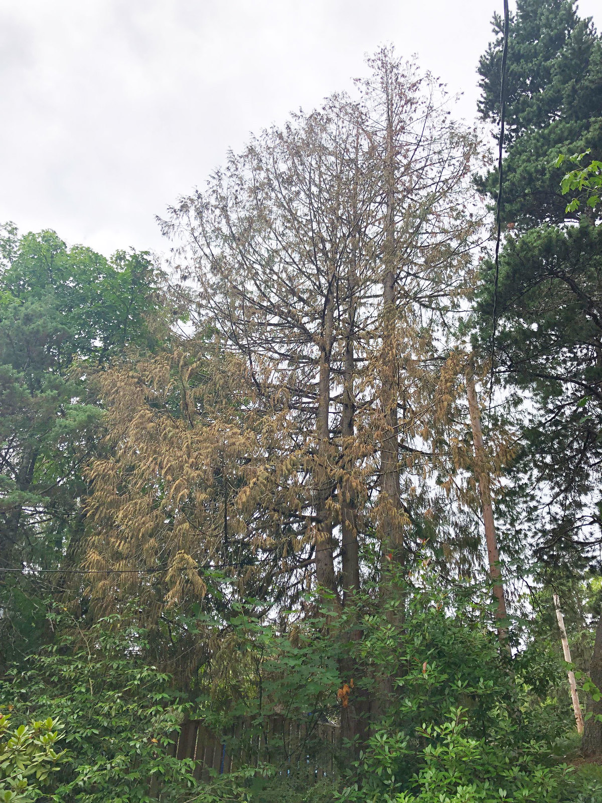 Western Oregon conifers continue to show damage due to drought