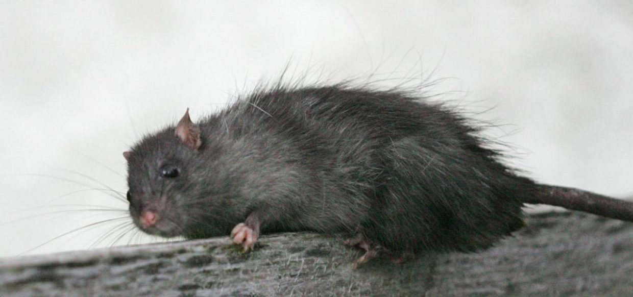 Tips for keeping rats out of home and garden