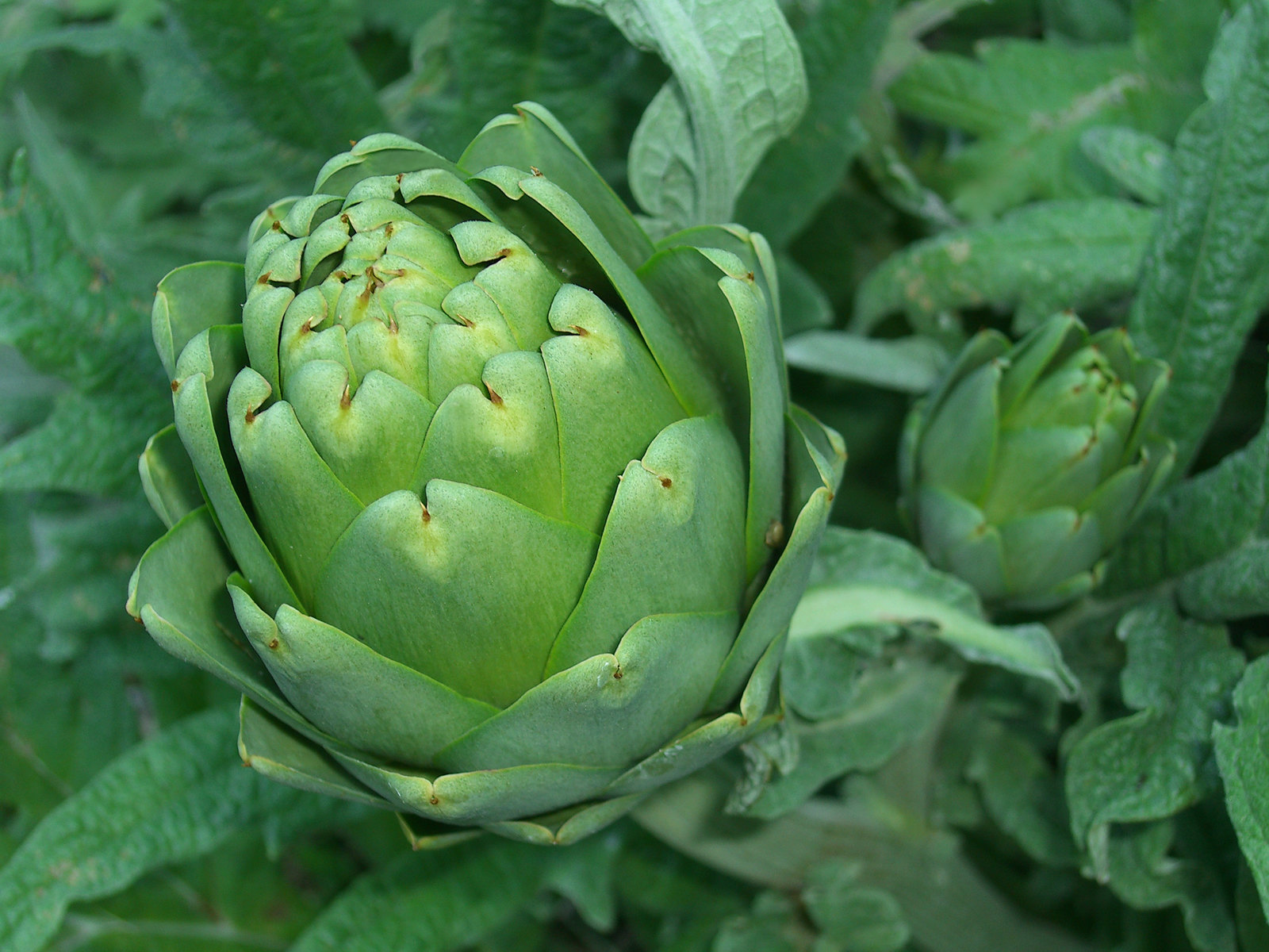 Ornamental or edible, artichokes have a place in the garden