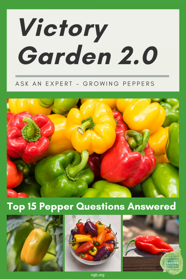 Top 15 Questions and Answers About Growing Peppers!