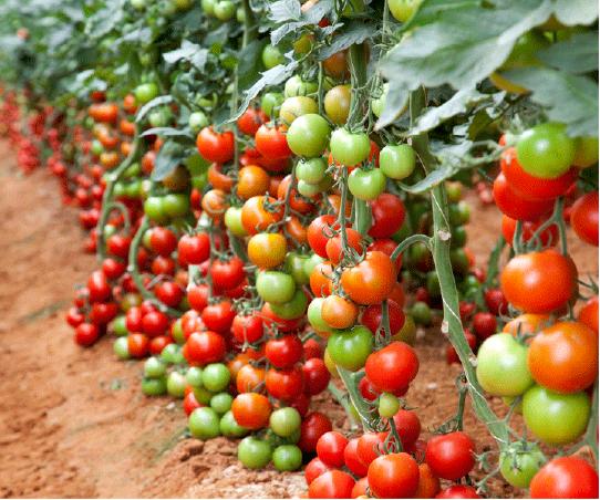 Tiptoe into tomato season