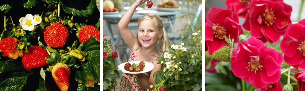 15 Growing Strawberries Questions Answered…