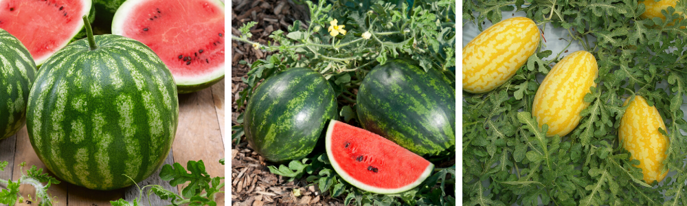 15 Growing Watermelon Questions Answered Plant Something Oregon