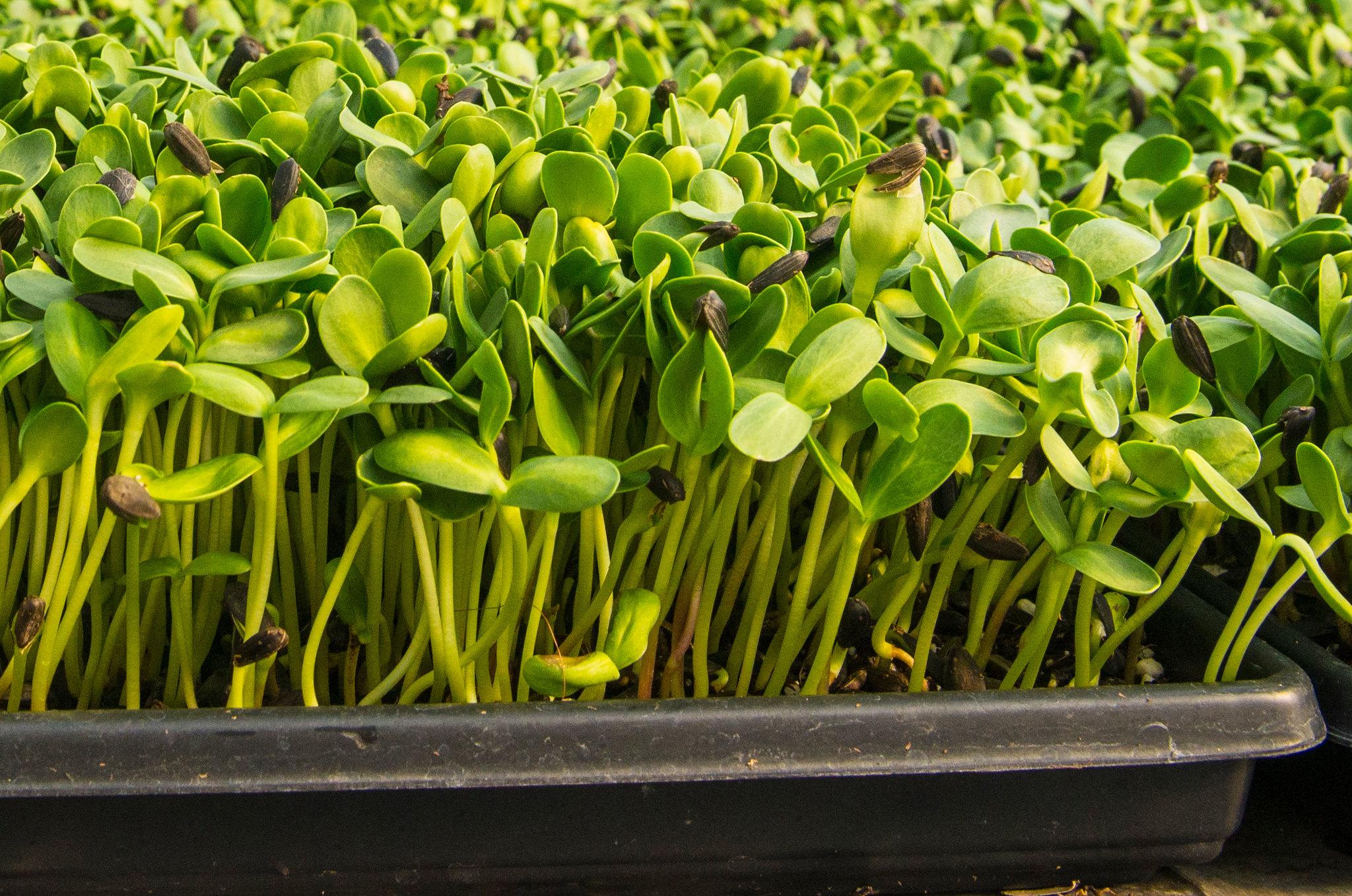 Photo of microgreens