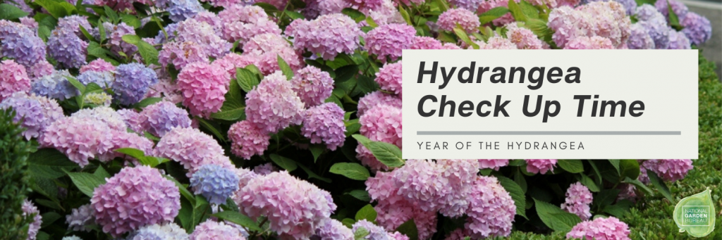 Take Time Now for a Hydrangea Check Up