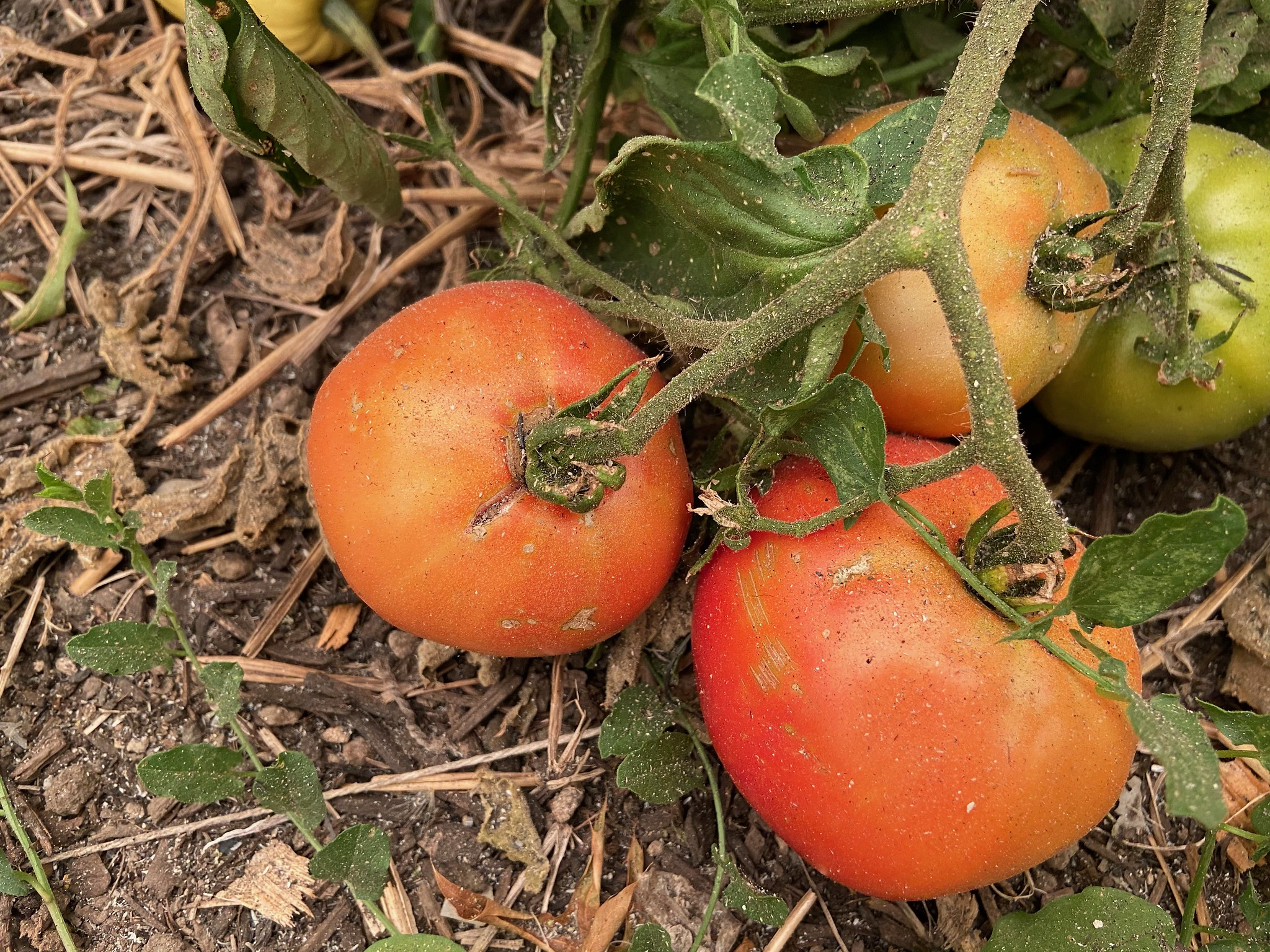 Take precautions when wildfire ash falls on fruits and vegetables