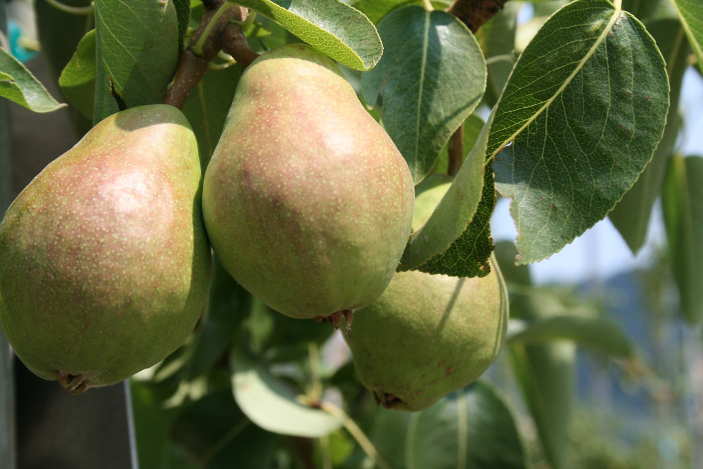 Know when it's time to harvest apples and pears