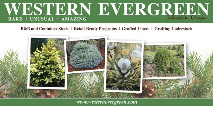 Western Evergreen