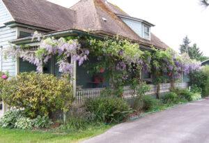 Photo of wisteria