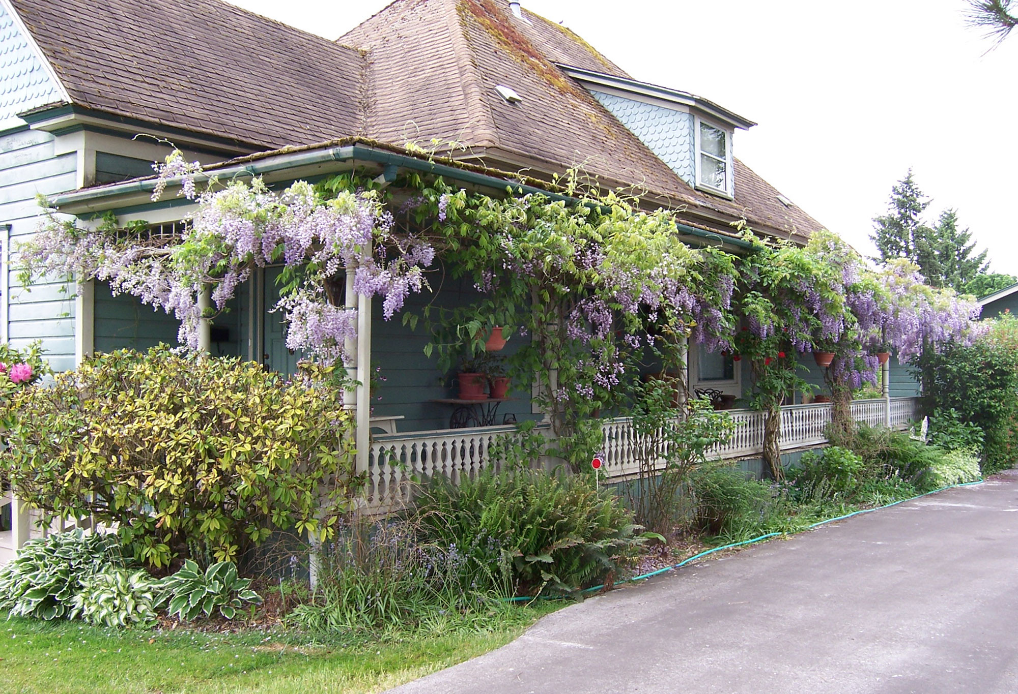 Wisteria care: Take out clippers twice a year and go to town