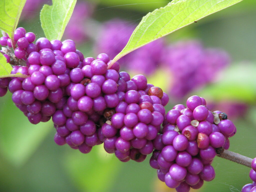 Photo of beautyberry