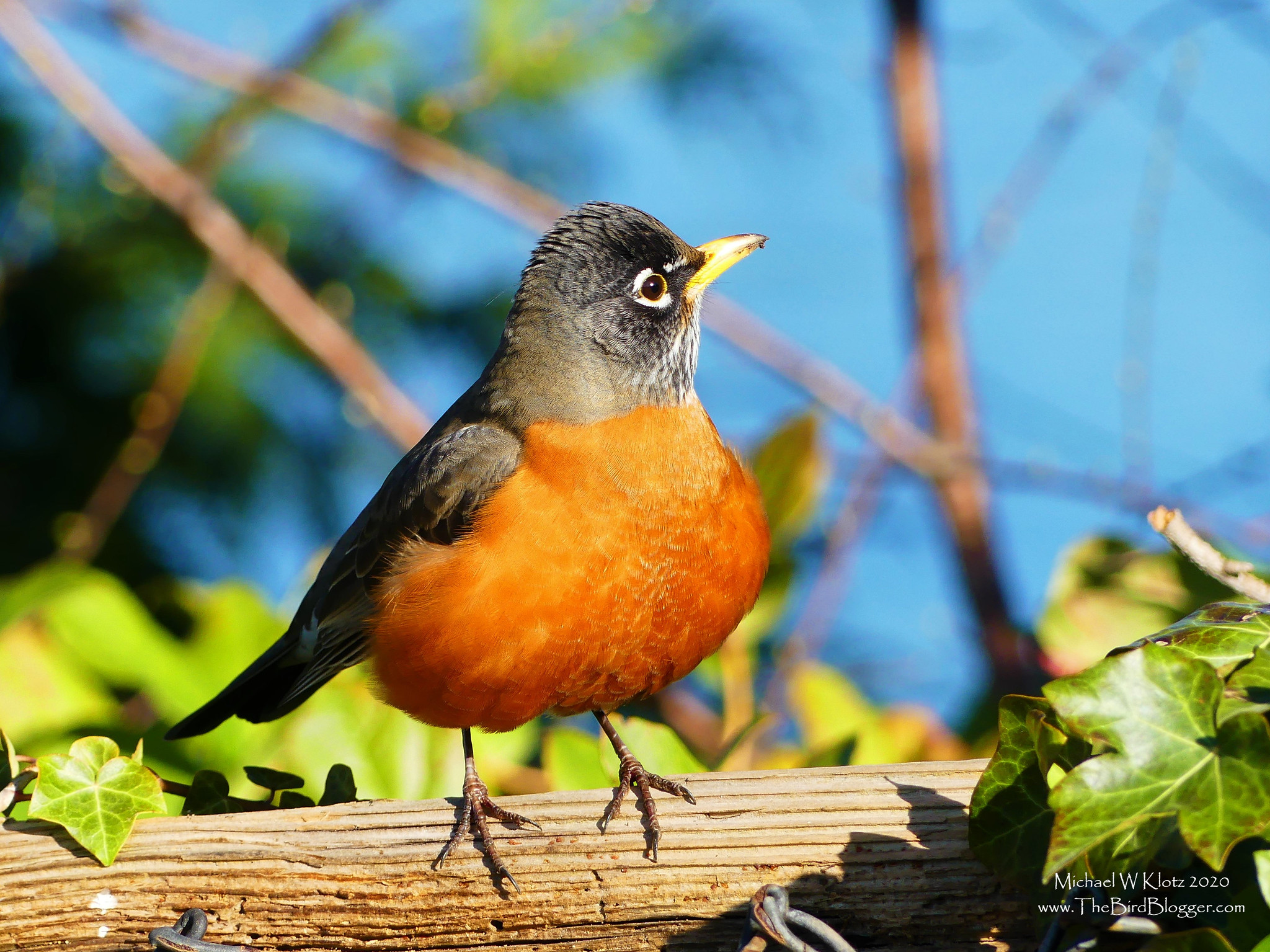 Offer robins what they need and they'll stick around