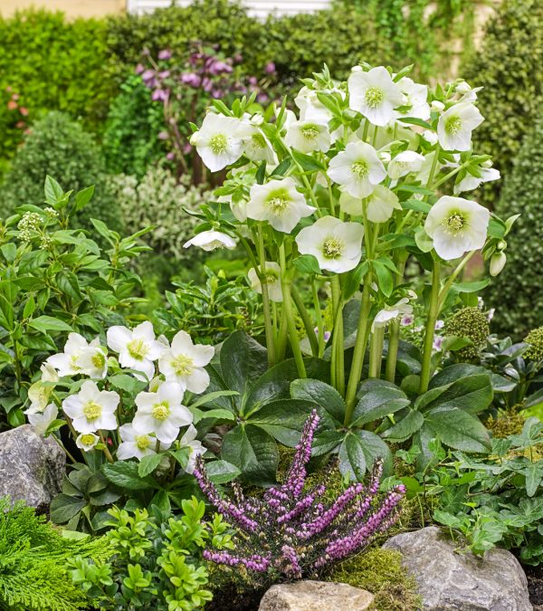 How to Grow Spring Blooming Hellebore Flowers