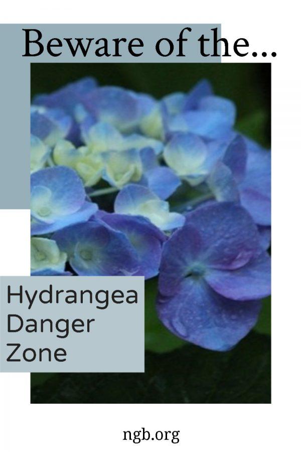 Hydrangea Danger Zone