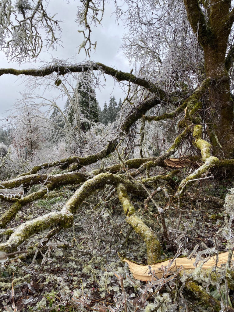 Ice storm damage from the display garden at Dancing Oaks Nursery. Co-owner Leonard Fultz said there are plants and deer fence under this oak. Photo by Leonard Fultz.