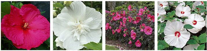 Hardy Hibiscus adds a splash of tropical flair to your perennial garden.