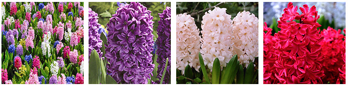 Year of the Hyacinth