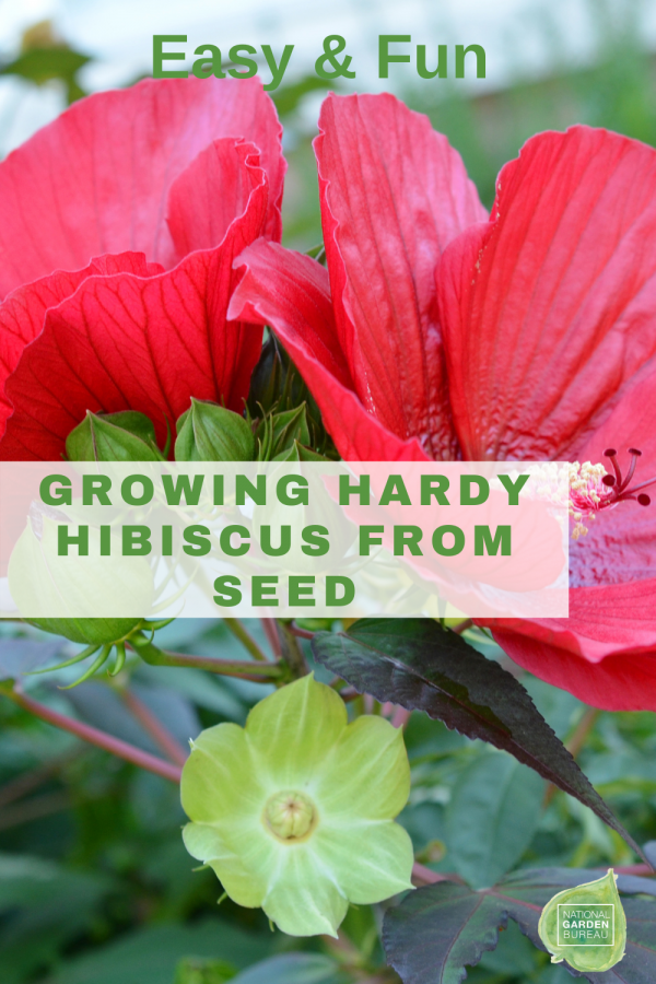 Growing Hardy Hibiscus from Seed