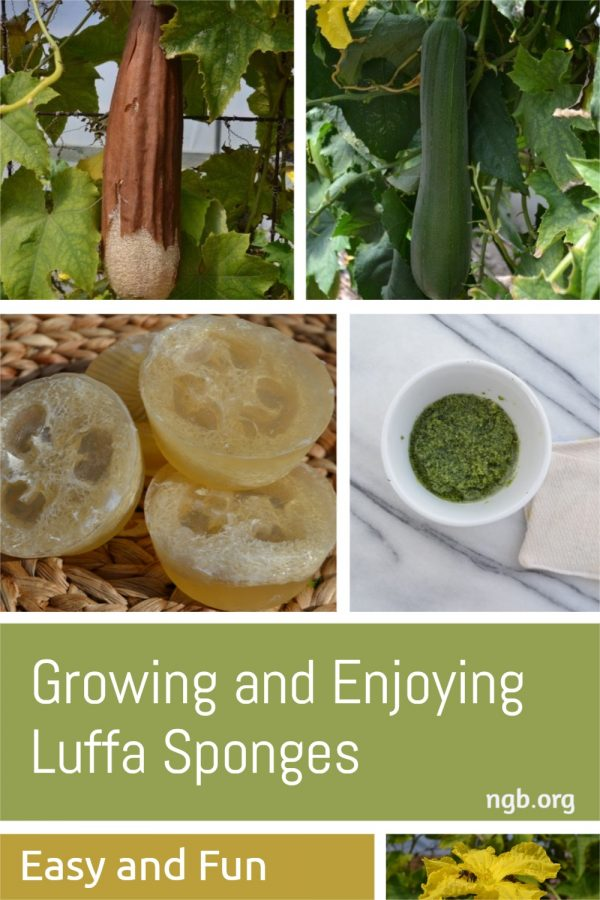 Growing Your Own Luffa