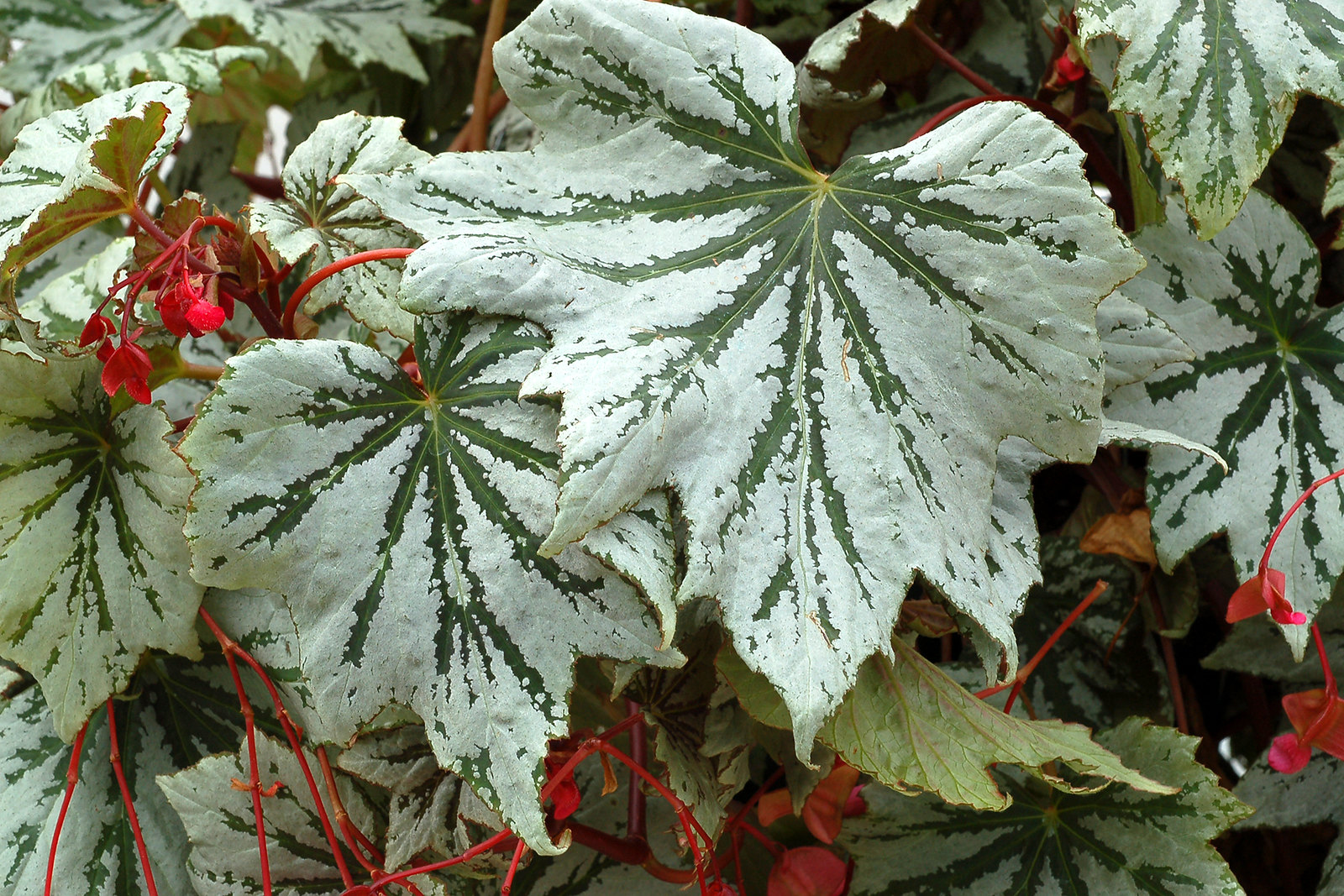 Better breeding brings begonias back into the limelight