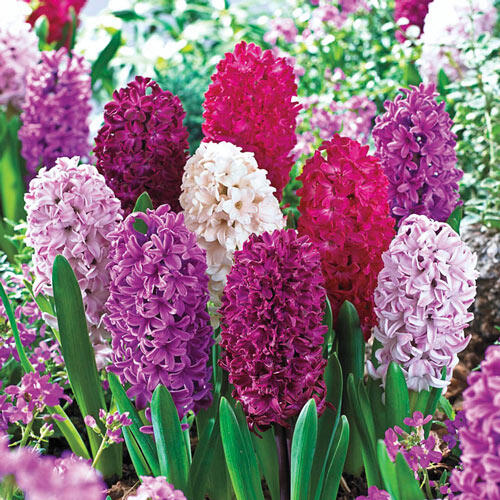How to Grow Hyacinths in the Garden